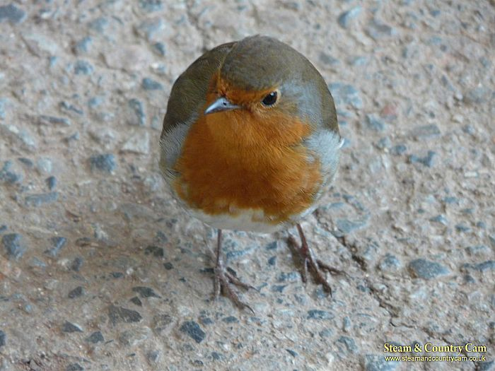 A friendly Robin at Paignton Zoo